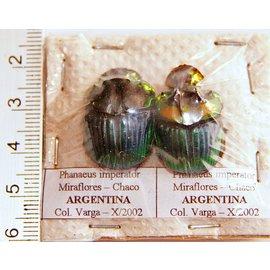 Scarabidae Phanaeus imperator PAIR A1 Argentina 1.5-2.0 cm