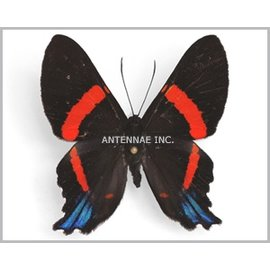 Riodinidae Ancyluris cacica latifasciata M A1 Peru