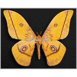 Saturnidae Nudaurelia dione M A1- Cameroon