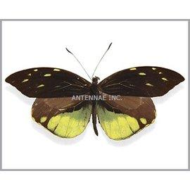 Pieridae Dismorphia nemesis M A1 Peru