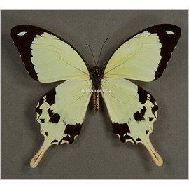 Papilionidae Papilio dardanus dardanus M A1 RCA