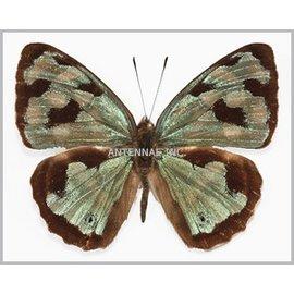 Nymphalidae Dynamine MIX M A1 Peru