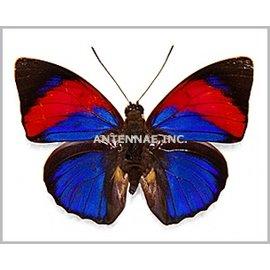 Nymphalidae Agrias narcissus tapajonas PAIR A1/A1- Brazil