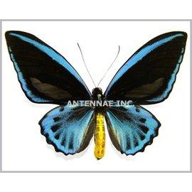Ornithoptera and Trogonoptera Ornithoptera priamus caelestis PAIR A1 PNG