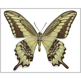 Papilionidae Papilio paeon perugrino M A1 Peru