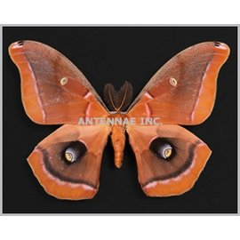 Saturnidae Antherea polyphemus olivacea M A1 EP USA