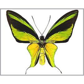 Ornithoptera and Trogonoptera Ornithoptera meridionalis tarunggarensis PAIR A1 Indonesia
