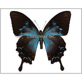 Papilionidae Papilio ulysses ulysses F A1 Indonesia