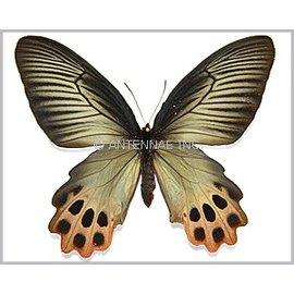 Papilionidae Atrophaneura horishana F A1 Taiwan