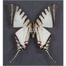 Papilionidae Eurytides (Protographium) agesilaus autosilaus M A1 Peru