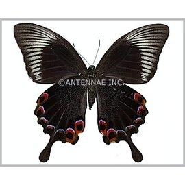 Papilionidae Papilio karna discordia F A1 Indonesia