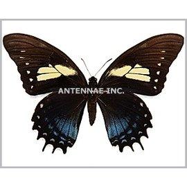 Papilionidae Papilio aristeus bitias M A1 Bolivia