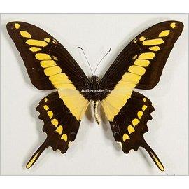 Papilionidae Papilio thoas cynrias M A1 Bolivia