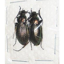Carabidae Carabus sternbergi honamensis M A1 South Korea