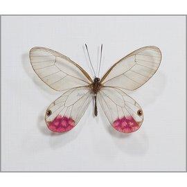 Satyridae Cithaerias pyropina M A1 Peru