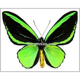 Ornithoptera and Trogonoptera Ornithoptera priamus teucrus PAIR A1 PNG