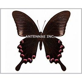 Papilionidae Papilio bianor thrasymedes M A1 Taiwan