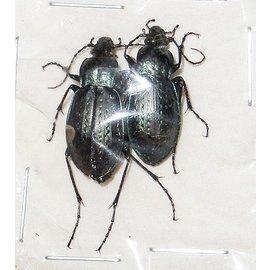 Carabidae Carabus sternbergi angustus M A1 South Korea