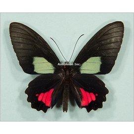 Papilionidae Parides vertumnus autumnus M A1 Peru