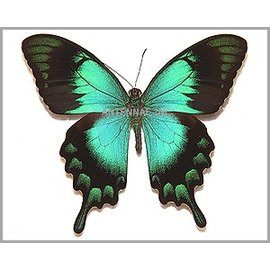 Papilionidae Papilio lorquinianus esmae M A1 Indonesia