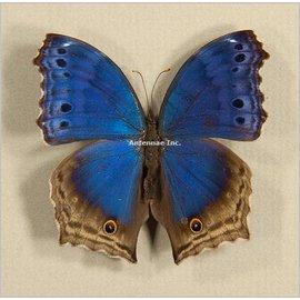 Nymphalidae Salamis temora M A1 RCA