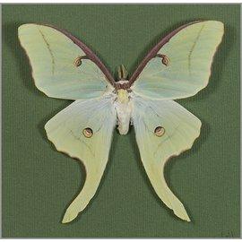 Saturnidae Actias luna PAIR A1 EP USA