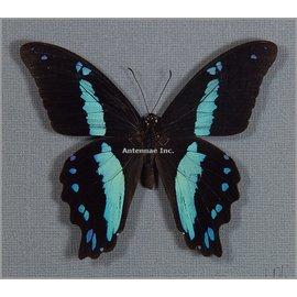 Papilionidae Papilio nireus M A1 RCA