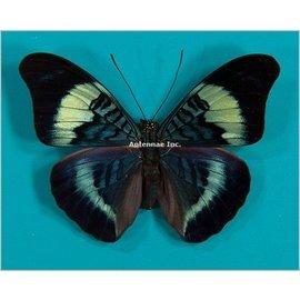 Nymphalidae Panacea prola M A1 Peru