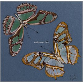 Heliconidae Philaethria (Metamorpha) dido M A1 Peru