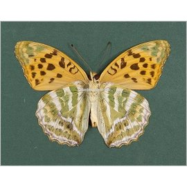 Nymphalidae Argynnis paphia ssp? M A1- China