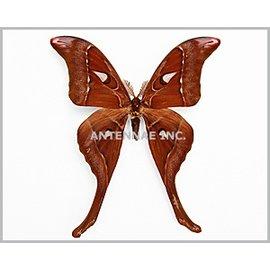 Saturnidae Coscinocea hercules butleri M A1 Australia