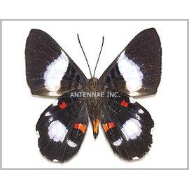 Riodinidae Cyrenia martia M A1 Peru