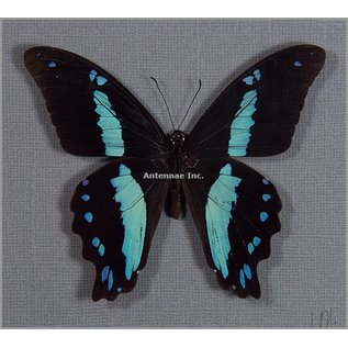 Butterfly Art Green-Banded Swallowtail
