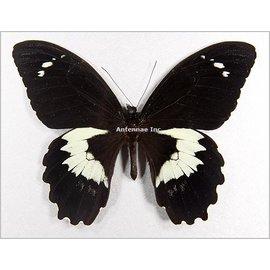 Papilionidae Papilio gambrisius gambrisius M A1 Indonesia