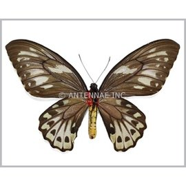 Ornithoptera and Trogonoptera Ornithoptera priamus urvillianus F A1- Solomon Islands