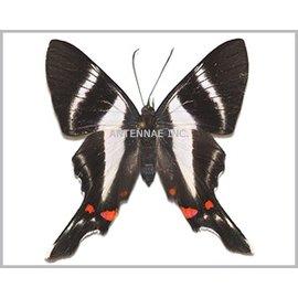 Riodinidae Rhetus periander F A1 Peru