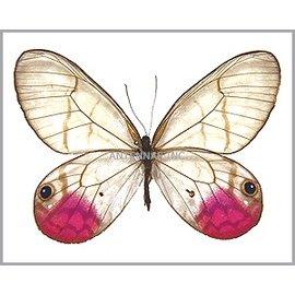 Satyridae Cithaerias phantoma / aurorina M A1 Bolivia / Peru