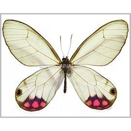 Satyridae Cithaerias merolina / C. pyropina M A1 Bolivia / Peru