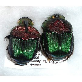 Scarabidae Phanaeus vindex PAIR A1 USA 1.3-1.5 cm