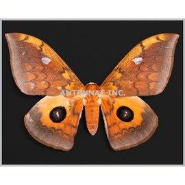 Saturnidae Lobobunaea phaedusa M A1 Cameroon