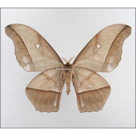 Saturnidae Nudaurelia eblis buchholzi M A1/A1- Cameroon