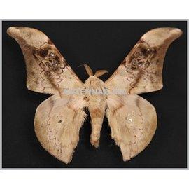 Saturnidae Orthogonotilium adiegatum reticulum M A1 Cameroon
