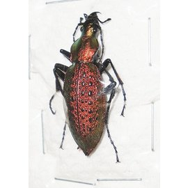 Carabidae Damaster smaragdinus hongdoensis PAIR A1 South Korea