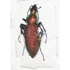 Carabidae Damaster smaragdinus hongdoensis PAIR A1 South Korea