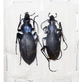 Carabidae Damaster jankowskii taebeagenesis M A1 South Korea
