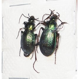 Carabidae Carabus sternbergi cartereti M A1 South Korea