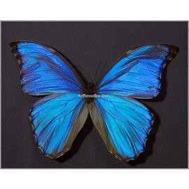 Morphidae Morpho godarti M A1 Bolivia