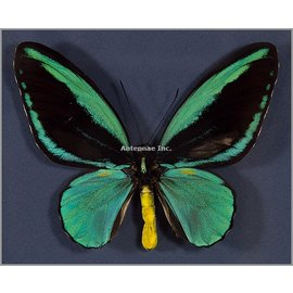 Ornithoptera and Trogonoptera Ornithoptera aesacus PAIR A1 Indonesia