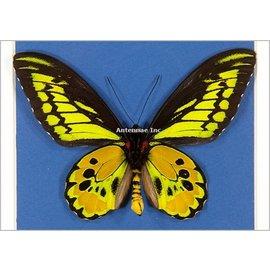 Ornithoptera and Trogonoptera Ornithoptera rothschildi F A1 Indonesia