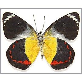 Pieridae Delias timorensis moaensis M A1 Indonesia